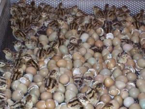خروج جوجه قرقاول ها از تخم در سبد هچر.